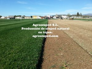 Cultivo de césped natural Agrocesped